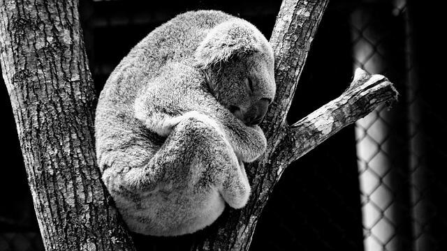 寝ている コアラ